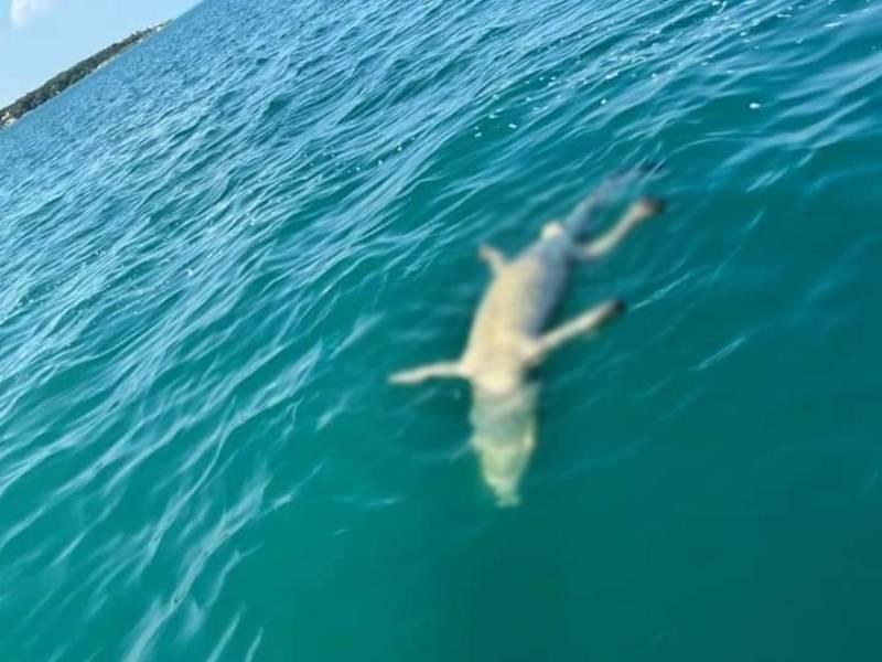 Fotos. Encuentran sin vida a cocodrilo en laguna de Bacalar.
